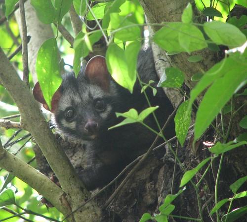 Asian Palm Civet Over A Tree