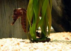 Sea Horse_1 (doc_shrek) Tags: ocean blue sea horse aquarium seahorse underwater sealife aquaticlife oceanlife