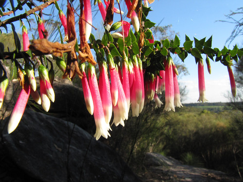 Native Fuchsia