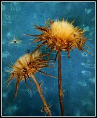 Cardo Seco (Flavio~) Tags: blue art texture gold decay fineart seeds ultimateshot