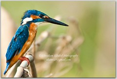 The kingfisher! (Ehtesham Khaled [www.ehteshamkhaled.com]) Tags: camera bird art lens nikon media x kingfisher dhaka khaled ehtesham bangladesh bangla advertise bangali banga sham619 gettyimagesbangladeshq3