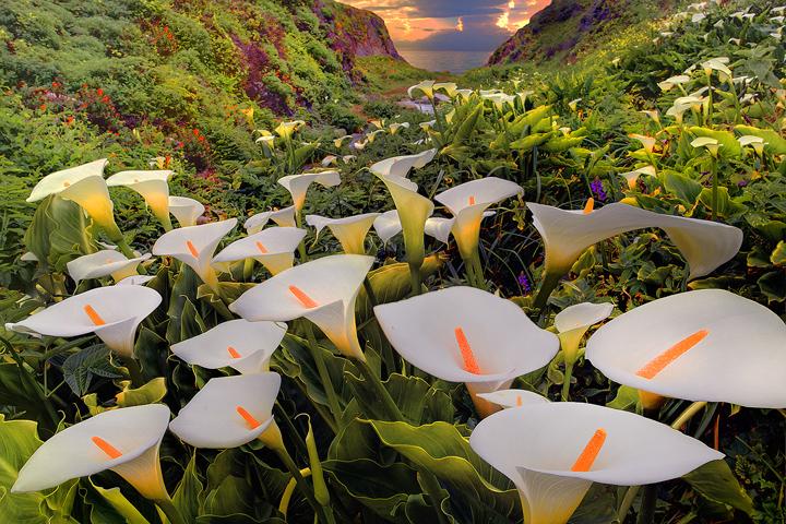 Big Sur,Garrapata State Park, Cala Lilies