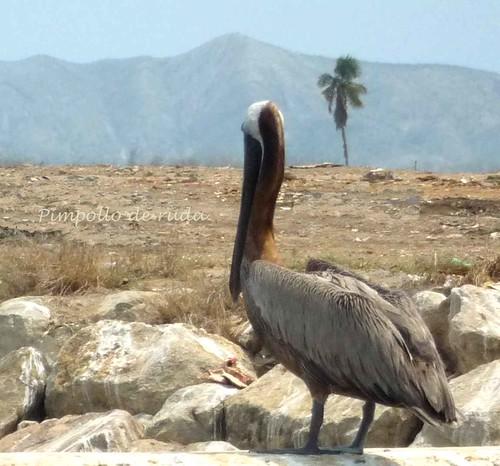 Pelicano solitario