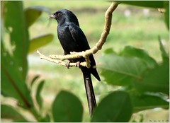 Black Drongo ( ) (jonab.buri {Bangladeshi}) Tags: black color colour green bird nature beauty birds animal rural photography photo photographer dhaka bangladesh buri naturephotography bangladeshi naturelover drongo greenbeeeater blackdrongo pakhi birdsofasia jonab sobuj birdsofbangladesh  bangladeshibirds  kukkadumas