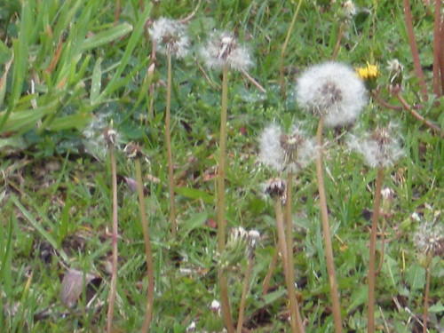 Dandelions Galore