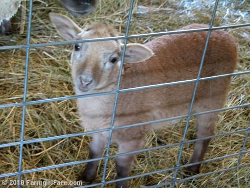 Ewe Lamb Portraits 6