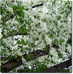 a branch of may (greenhem) Tags: canada quebec montreal ndg crabappleblossoms flowersofspring blossomingtrees mywinners monthofmay flowerwatcher flowersarefabulous wonderfulworldofflowers awesomeblossoms onlythebestofnature