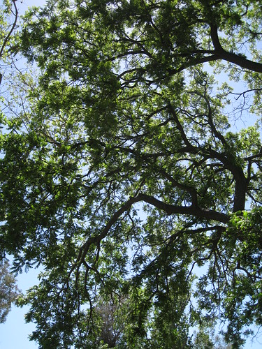 potential black walnut tree canopy