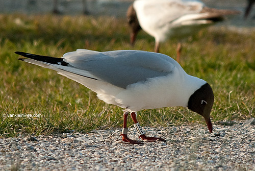 Black-headed Gull, adult, W[E5CP]