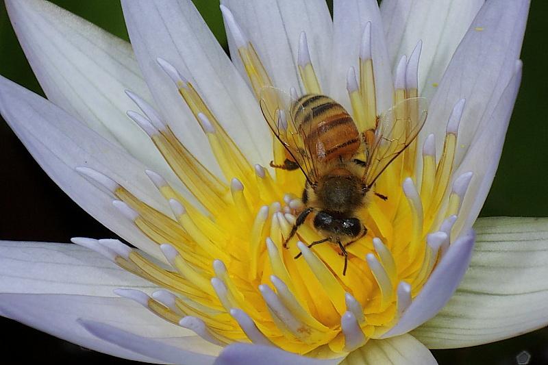[分享]睡蓮~蜜蜂~豆娘