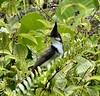 Immigrants for Ever. Red-Whiskered Bulbul - Pycnonotus jocosus - among Koster's Curse - Clidemia hirta. Ho'omaluhia Botanical Garden, O'ahu, Hawai'i, USA (Rana Pipiens) Tags: brazil coffee tourists redwhiskeredbulbul pycnonotusjocosus diamondclassphotographer flickrdiamond ishflickr clidemiahirta oahuhawaiiusa kosterscurse thebusoahuhawaiiusa hoomaluhiabotanicalgardensoahuhawaiiusa