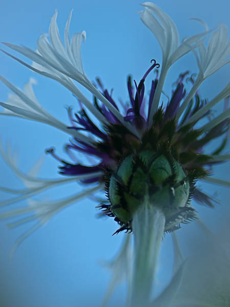 Blue Flower at Allen Centennial Gardens at University of Wisconsin