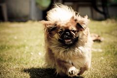 [フリー画像] 動物, 哺乳類, イヌ科, 犬・イヌ, ペキニーズ, 201005231100