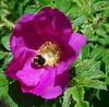 Life is full of beauty... (mimicapecod) Tags: flowers friends roses nature bees bumblebees pinkflowers rosarugosa flowerswithinsects fantasticflower flowerswithbees flickrsfantasticflowers flickrsbestkeptsecret