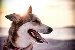 Sunset Pup Explored! (Kevin Conor Keller) Tags: dog beach canon tampa 50mm mix florida pup 18 australianshepherd hybrid germanshepherd doggie mut apollobeach arria 4060 550d t2i fortysixty