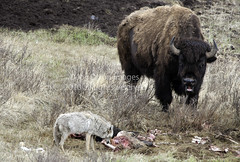 Get away from my buddy (Deby Dixon) Tags: coyote nature photography nikon wildlife explorer photojournalism valley yellowstone bison carcass deby traveler adventurer standoff ddi naturephotographer travelphotographer travelwriter debydixon tourismphotography