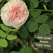 CFS-David Austin rose James Galway-75