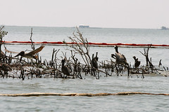 Brown Pelicans on Louisiana coast