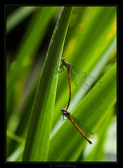 Love Is In The Air (InfoTek) Tags: macro garden insect ed 50mm dragonfly jardin olympus f2 zuiko insecte libellule faune e510 macroinsectes naturesgreenpeace
