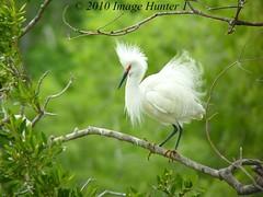 Snowy Egret (Image Hunter 1) Tags: tree nature birds louisiana branch bokeh feathers bayou breeding swamp perch greenery perched marsh egret snowyegret nesting plumage birdslouisiana panasonicfz35 raynox2025hd22x