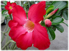Adenium obesum (Desert Rose) in bright red at the Good Shepherd Catholic Seminary, Malacca