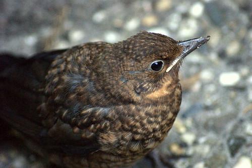 Mini blackbird