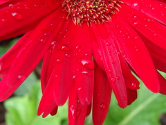 Red Gerbera daisy, with raindrops, SOOC (Martin LaBar (going on hiatus)) Tags: red flower water beautiful rain drops southcarolina gerbera daisy raindrops margarita lovely encantadora waterdrops hermosa asteraceae roja gerberadaisy pickenscounty lasgotasdelluvia rayflowers floresradiales