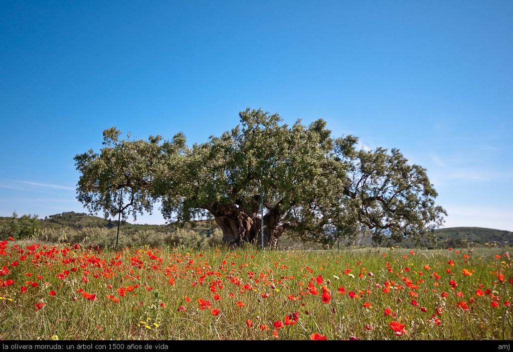 la olivera morruda: un árbol con 1500 años de vida