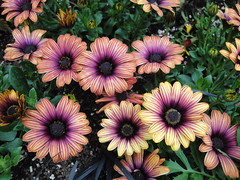 Osteospermum Astra Sunset Purple