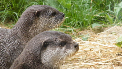 Otters - Dublin Zoo