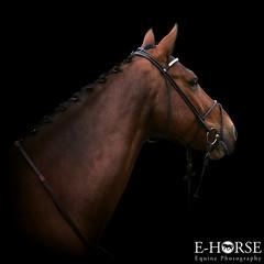 Essence-Cartier D.D. (kiekje.be) Tags: colt stallion ehorse equinephotography
