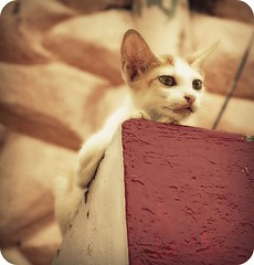 big ears (hanna.bi) Tags: india cat kitten fort kerala cochin kochi hannabi thelittledoglaughed