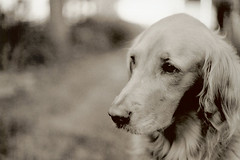 [フリー画像] 動物, 哺乳類, イヌ科, 犬・イヌ, ゴールデン・レトリバー, セピア, 201006171100