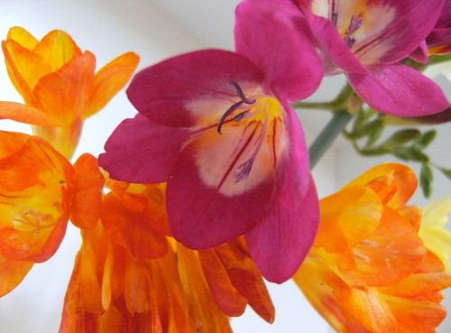 Freesias #1