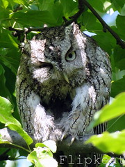 Wild Thing - Eastern Screech Owl (flipkeat) Tags: ontario canada bird nature birds closeup digital port pose outdoors photos unique wildlife sony awesome birding credit raptor owl prey mississauga incredible eastern birdwatching owls screech winking asio otus easternscreechowl screechowl megascops winkingowl petitducmacul avianexcellence tecoloteoriental dschx1 tecolotechilln june172010 davidsuzukicontest