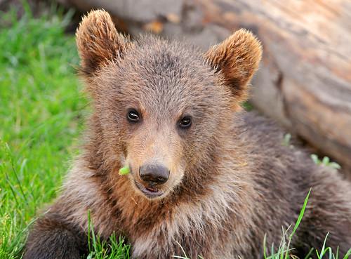 [フリー画像] 哺乳類, クマ科, 熊・クマ, 201006201100