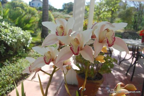 Cymbidium Orchids, Patio 2010