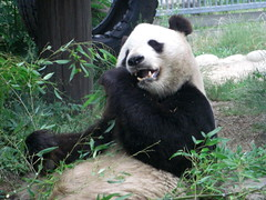 KouKou  panda 2010.06.19 (TaoTaoPanda) Tags: panda koukou ojizoo