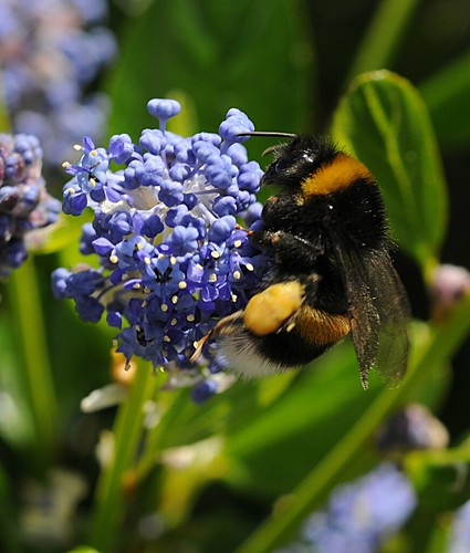 bufftailed bumblebee1