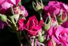 Rose, Intrigue (nekonomania) Tags: rose bud blooming バラ reddishpurple kyotobotanicalgarden 京都府立植物園