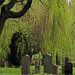 20100517_15 Large willow in cemetery (Stampens Kyrkogård, Gothenburg, Sweden)