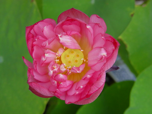 Lotus from my Garden