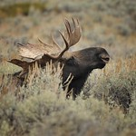 Moose in the sagebrush near Gros Ventre thumbnail