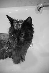 laver son chat dans un bain