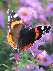 Admiral (H.P. Brinkmann) Tags: herbst natur lila admiral blume garten schwarz aster schmetterling violett purpur sptsommer rotorange