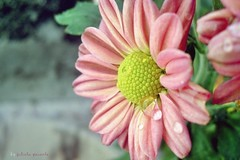 (juparente) Tags: verde flor rosa gotas margarida mim amarela gotasdeorvalho
