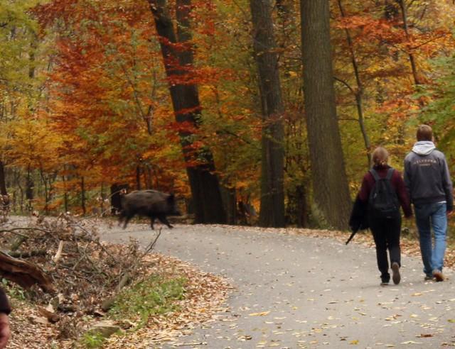 Wildschwein Crossing