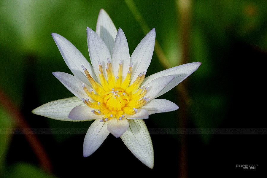 Water Lily - Photography by Haree for Nishchalam.