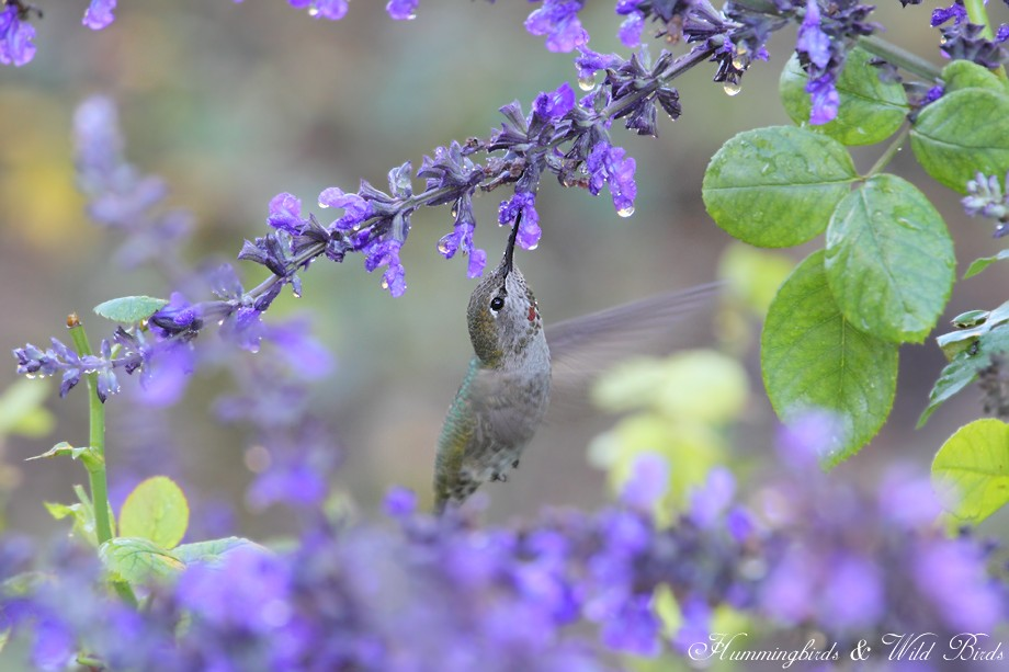 Anna's Hummingbird 110810