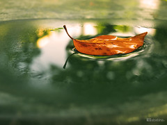 aqueous transmission (abatina) Tags: autumn hoja water digital photography amber leaf agua winner otoño float challenge beginner ambar flotar thechallengegame challengegamewinner abatina